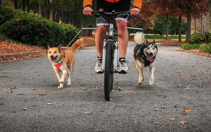 two dogs enjoy the health benefits of bicycling by walking with their owner as he pedals